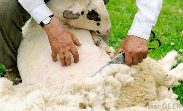 как получают шерсть