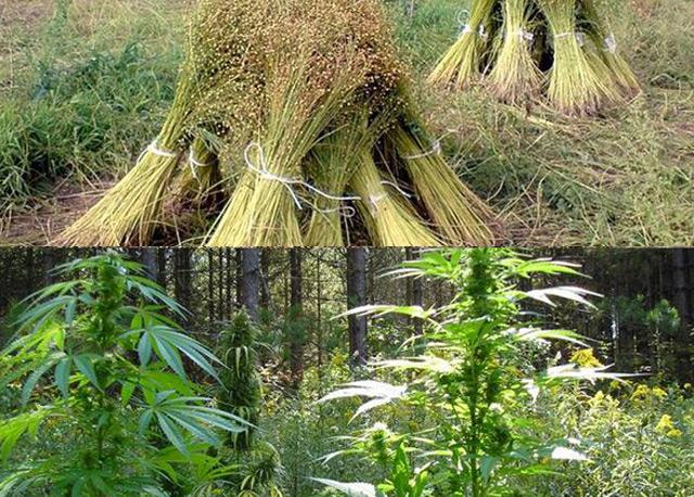 Производство волокна из конопли фото как выращивают марихуану
